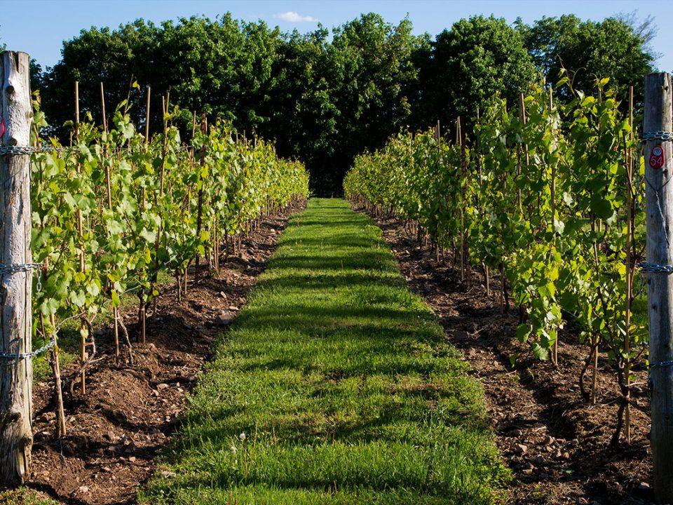 Vineyard Domaine Clos St-Bernard , Saint-Bernard-de-Lacolle