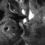 Butchery ferme Selby Dunham