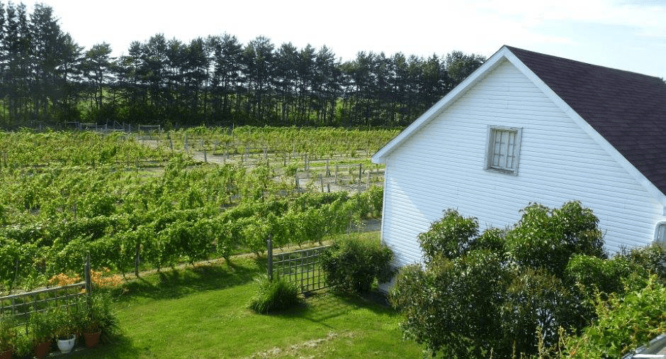 Vineyard Morou Napierville