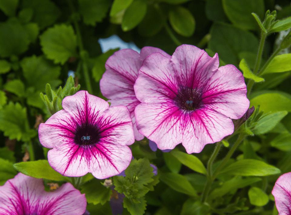 Marché de fruits et/ou légumes Les Jardins Baielactée Saguenay fleures mauve
