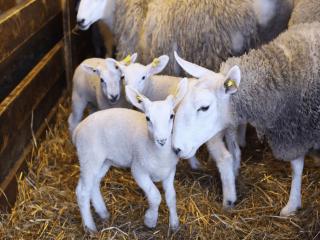 Vente de viande Les Moutons du Large l'Étang-Du-Nord Ulocal Produit Local Achat local