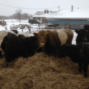 Sale of meatAmstutz Belted Galloways