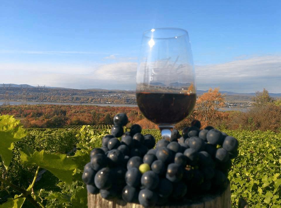 Vineyard Isle de Bacchus Saint-Pierre Ulocal local product local purchase