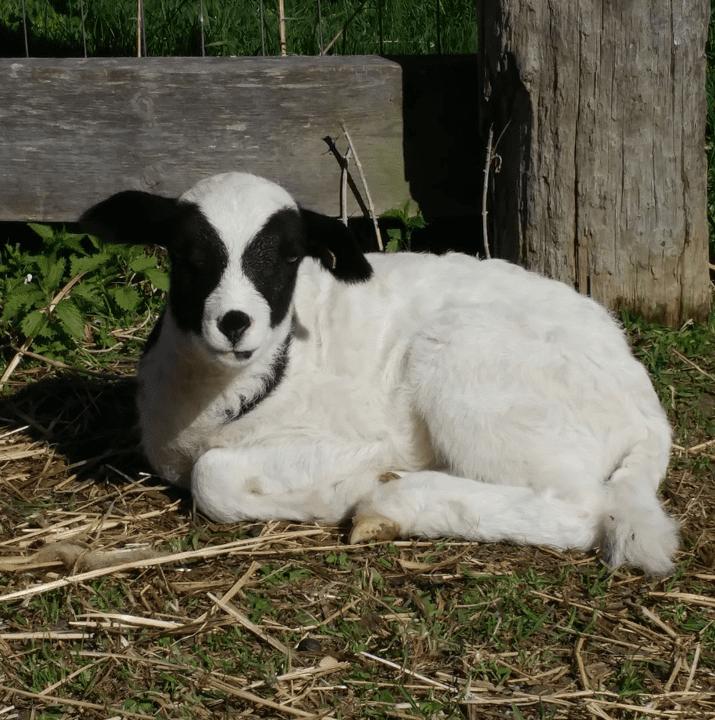 boucherie agneau Dalefamlambs Kemptville Ulocal produit local achat local