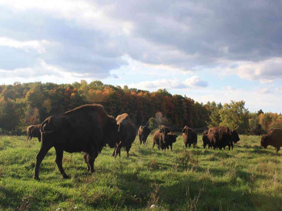 Sale of meat buffalo Ferme Takwanaw Thurso Ulocal local product local purchase