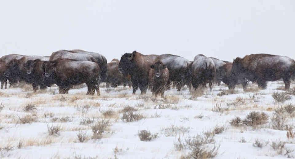 Vente de viande bisons Ferme Takwanaw Thurso Ulocal produit local achat local