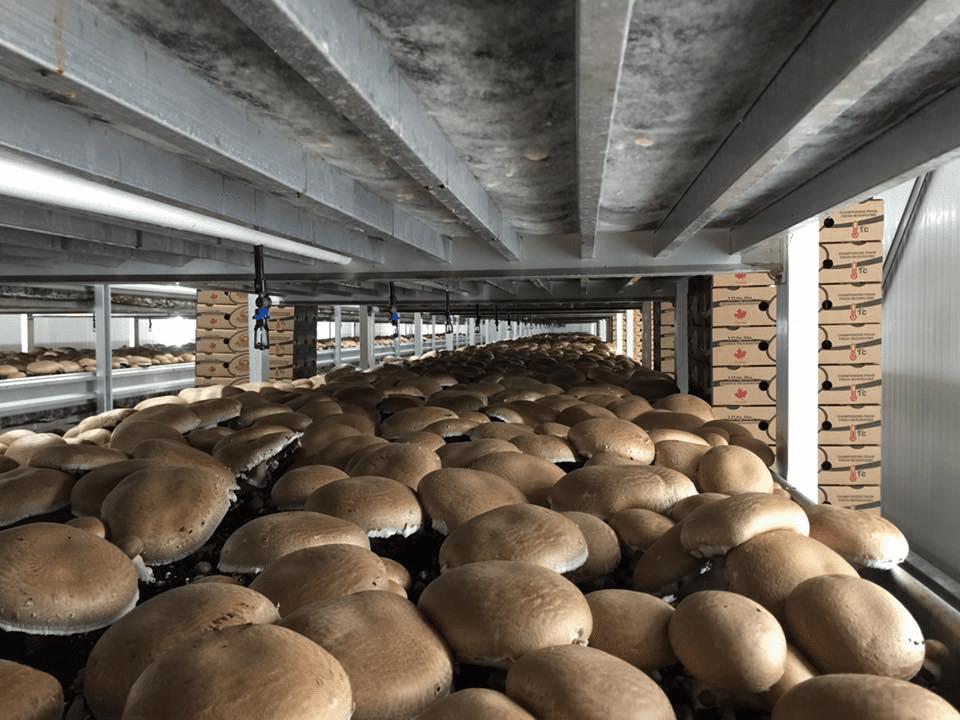 marché fruits et légumes champignons Carleton Mushroom Farms Osgoode Ulocal produit local achat local