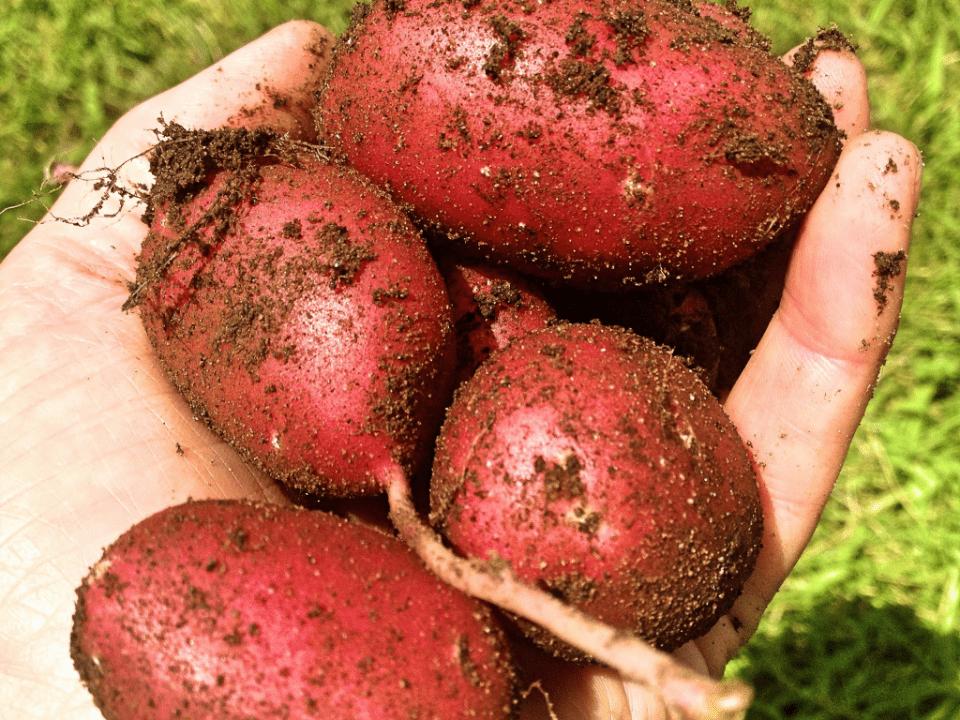 Farmer's Family potatoes C'est la vie Farm Clayton Ulocal Local Product Buy Local