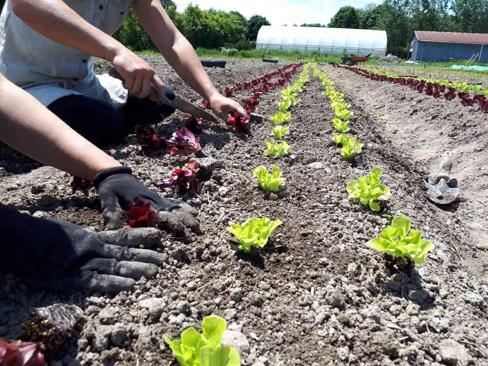 Fermiers de famille fruits et légumes paniers bio La Ferme Complètement Légume Mirabel Ulocal produit local achat local