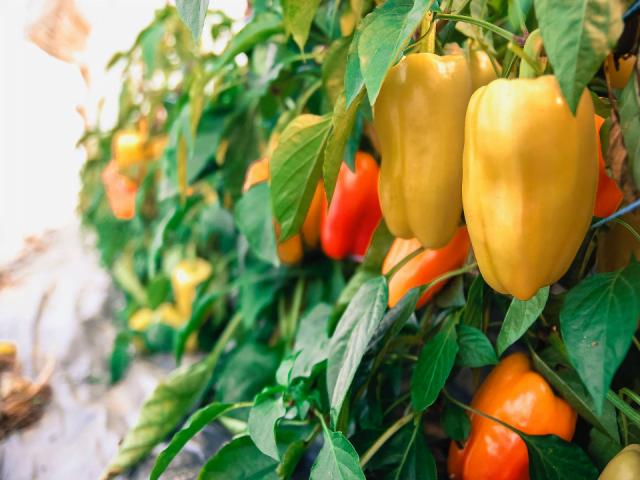 Fermiers de famille fruits et légumes biologique Ferme aux petits oignons Mont-Tremblant Ulocal produit local achat local