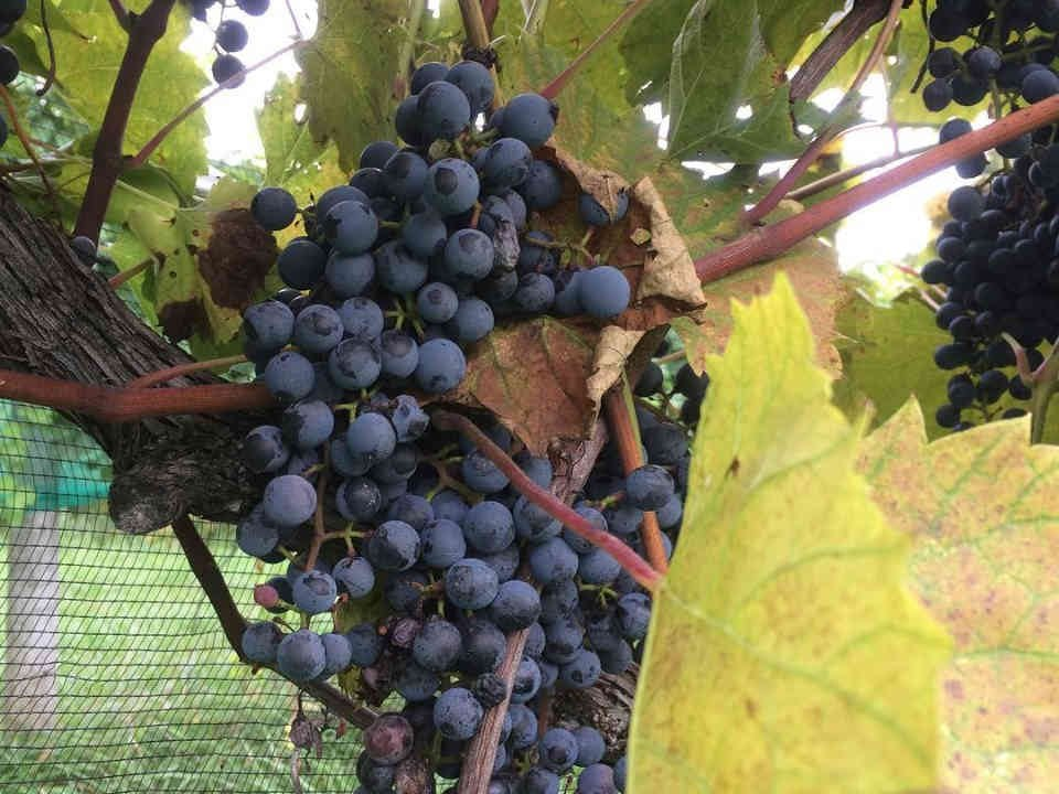 Vignoble raisins Alton Farms Estate Winery Plympton-Wyoming Ulocal produit local achat local