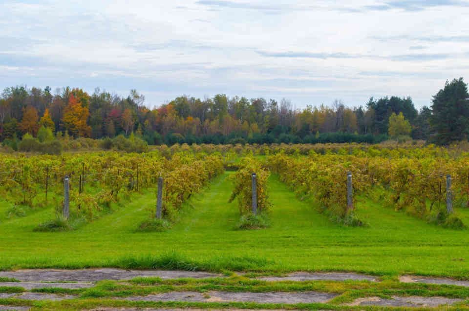 Vignoble vignes Green Gables Vines Oxfrod Station Ulocal produit local achat local