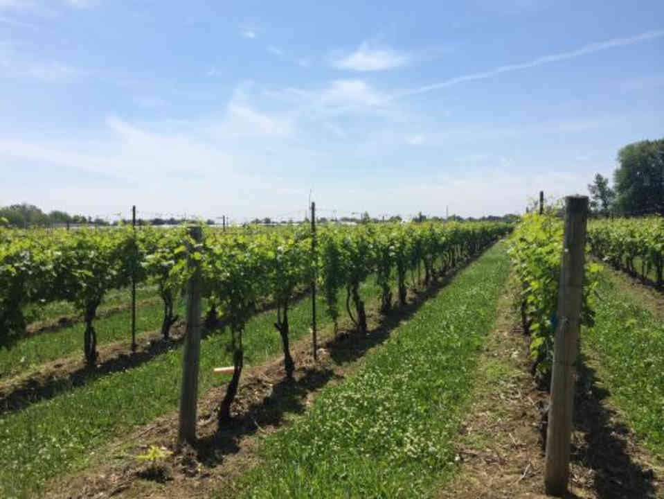 Vineyard vineyard Harbor Estates Winery Lincoln Ontario Canada Ulocal Local Product Local Purchase