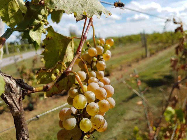 Vignoble raisins Jabulani Vineyard & Winery Ottawa Ulocal produit local achat local