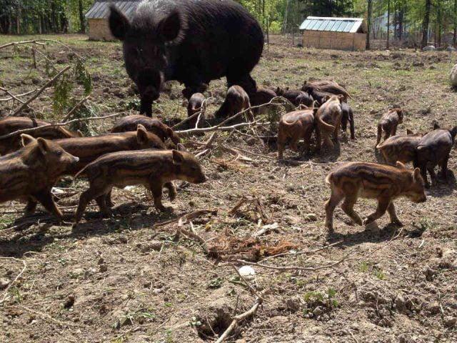 Vente de viande sangliers Kiefro Farm Clarence-Rockland Ulocal produit local achat local