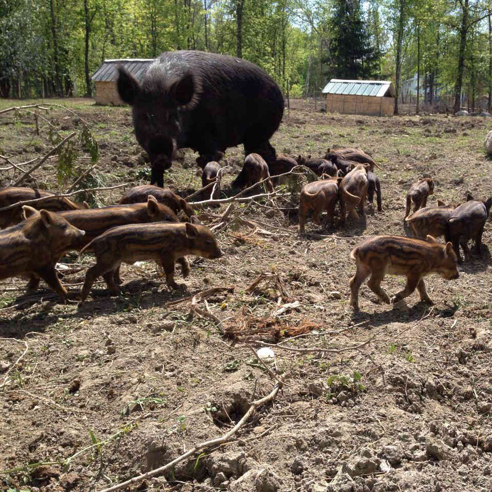 Meat sale Wild boar Kiefro Farm Clarence-Rockland Ulocal local product local purchase