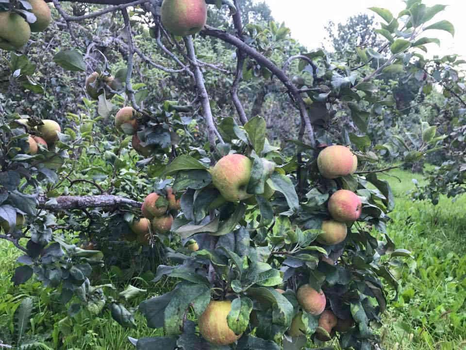 Marché de fruits et légumes pommes pommier Kilmarnock Orchard Jasper Ulocal produit local achat local