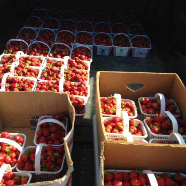 Auto-cueillette fraises Kinburn Berries Kinburn Ulocal produit local achat local