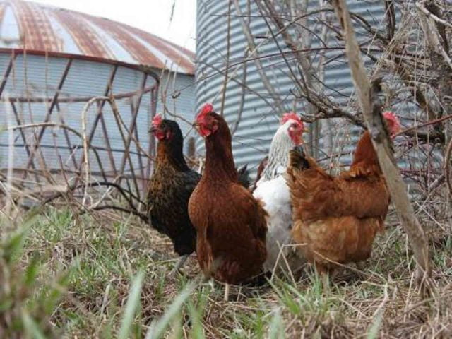 Marché de fruits et légumes poules Kinburn Farms Kinburn Ulocal produit local achat local