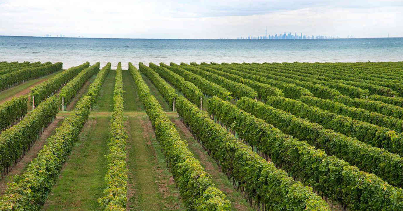 Vineyard vineyard Konzelmann Estate Winery Niagara-on-the-Lake Ontario Canada Ulocal Local Product Local Purchase