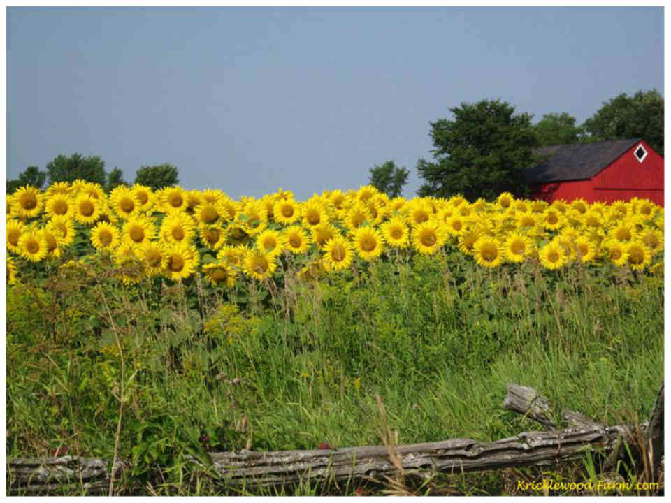 Food Sunflower field Kricklewood Farm Frankville Ulocal Local Product Local Purchase