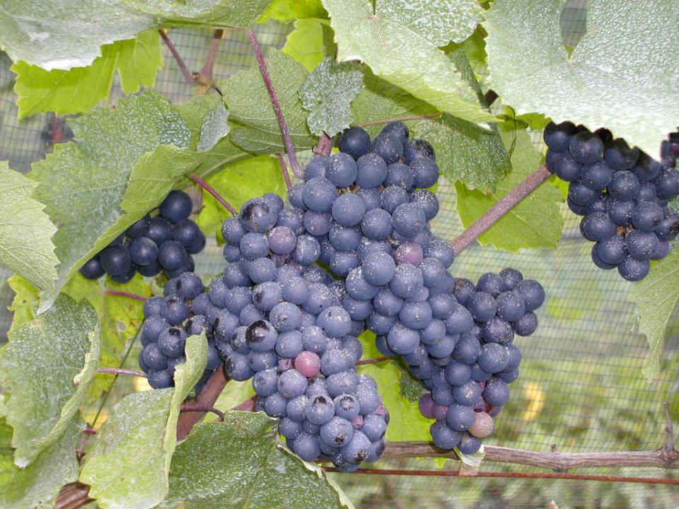 Vignoble raisins Villa Nova Estate Winery Simcoe Ulocal produit local achat local