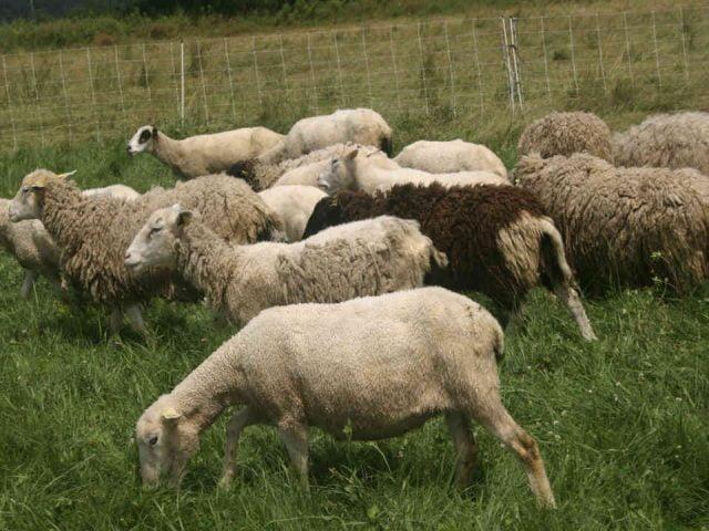 Fermiers de famille vente de viandes bergerie Ferme au bonheur des prés Stanstead Ulocal produit local achat local