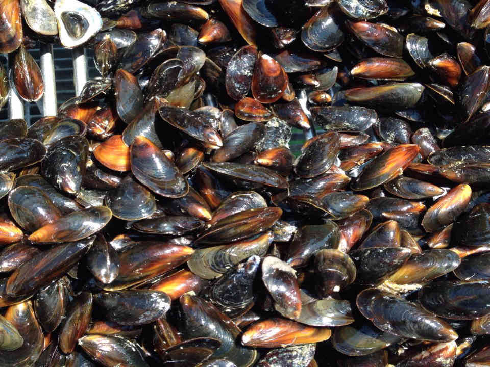 Food oyster mussels Grand Large mariculture farm Carleton-sur-Mer Quebec Canada Ulocal local produce local produce local purchase