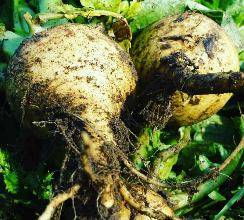 Fermiers de famille fruits et légumes biologiques paniers bio Potager la Gavotte Lotbinière Ulocal produit local achat local
