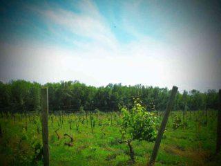 Vignoble vignoble Chateau Niagara Winery Burt New York États-Unis Ulocal produit local achat local