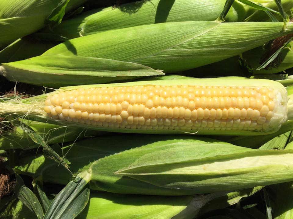 Produce Market corn Hudson's Farm Fresh Produce Kinburn Ontario Canada Ulocal Local Product Local Purchase
