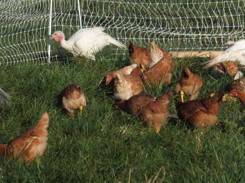 Vente de viande poules Little Trickle Farm Cobden Ontario Canada Ulocal produit local achat local
