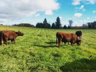 Vente de viande boeufs Little Trickle Farm Cobden Ontario Canada Ulocal produit local achat local