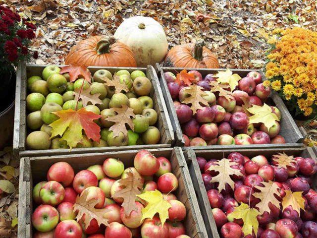 Autocueillette pommes et citrouilles Log Cabin Orchard Ottawa Ontario Canada Ulocal produit local achat local