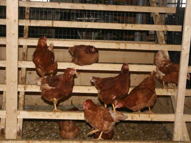 Vente de viande poules Maple Hill Urban Farm Ottawa Ontario Canada Ulocal produit local achat local