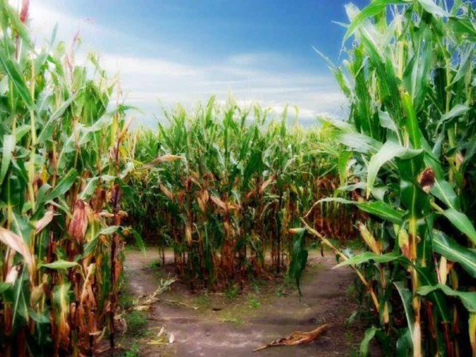 Vente de viande champ de maïs Maple Hill Urban Farm Ottawa Ontario Canada Ulocal produit local achat local