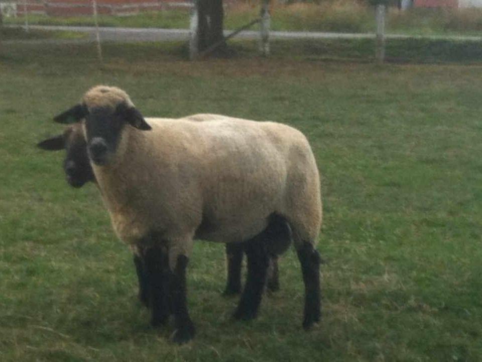 Vente de viande moutons Maple Meadows Osgoode Ontario Canada Ulocal produit local achat local
