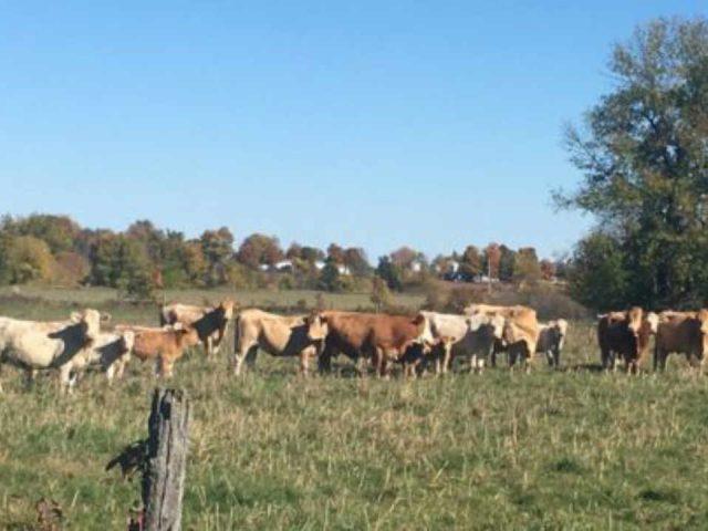 Vente de viande boeufs Maple Meadows Osgoode Ontario Canada Ulocal produit local achat local