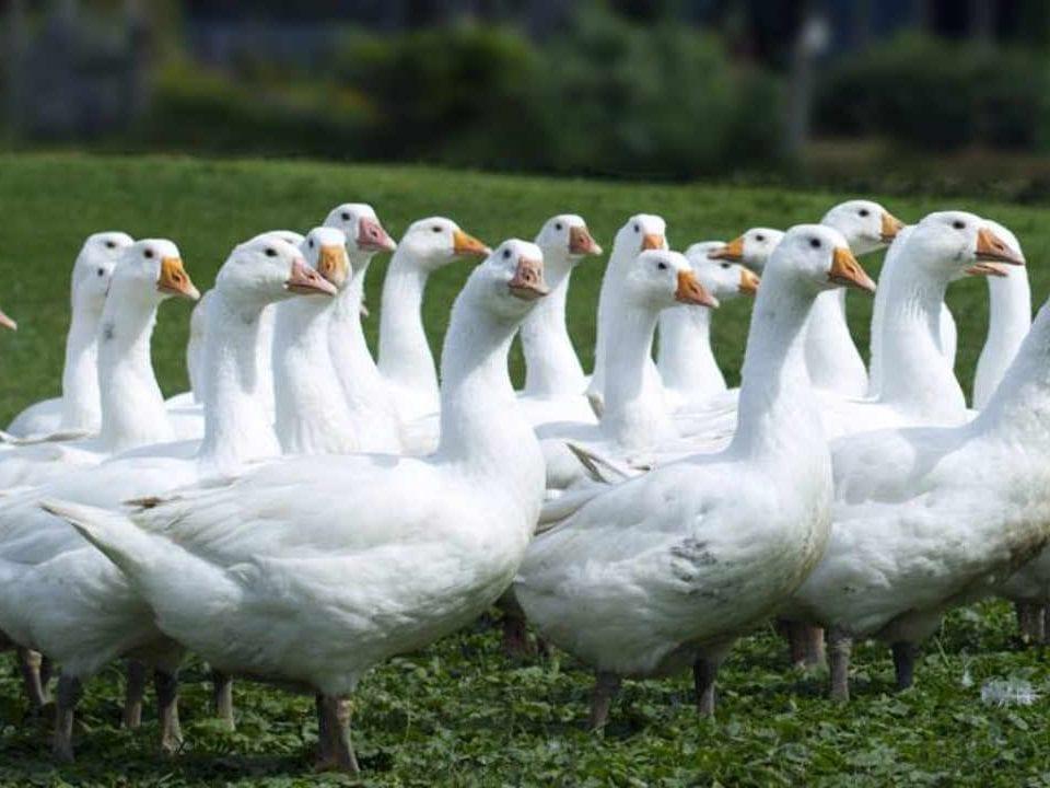 Vente de viande oies Mariposa Farm Plantagenet Ontario Canada Ulocal produit local achat local