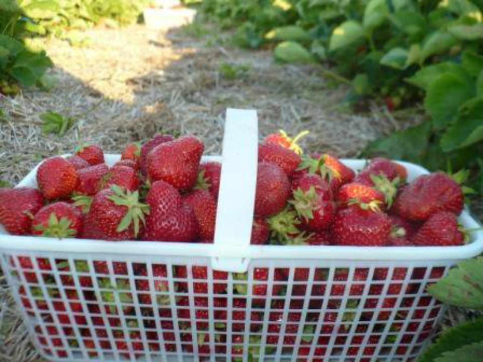 Marché de fruits et légumes panier de fraises McGregor's Produce Braeside Ontario Canada Ulocal produit local achat local