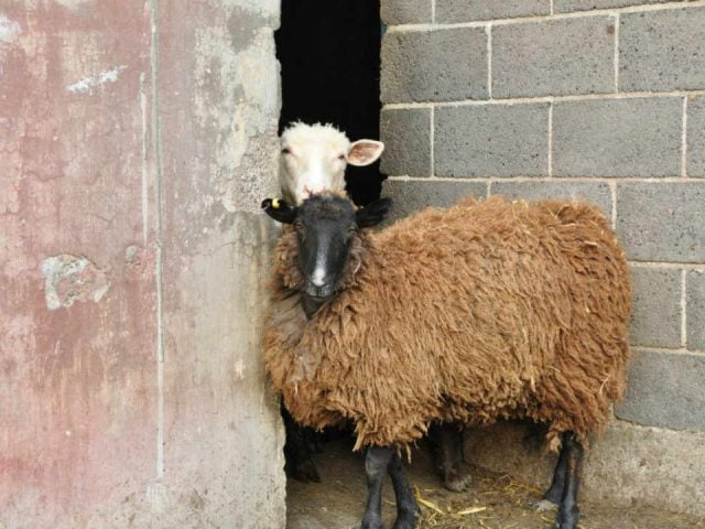 Vente de viande mouton McWatt Family Farms Ottawa Ontario Canada Ulocal produit local achat local