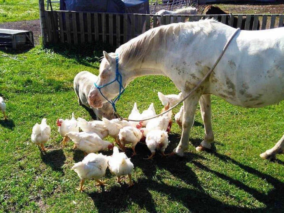 Sale of meat horse and chickens McWatt Family Farms Ottawa Ontario Canada Ulocal Local Product Local Purchase