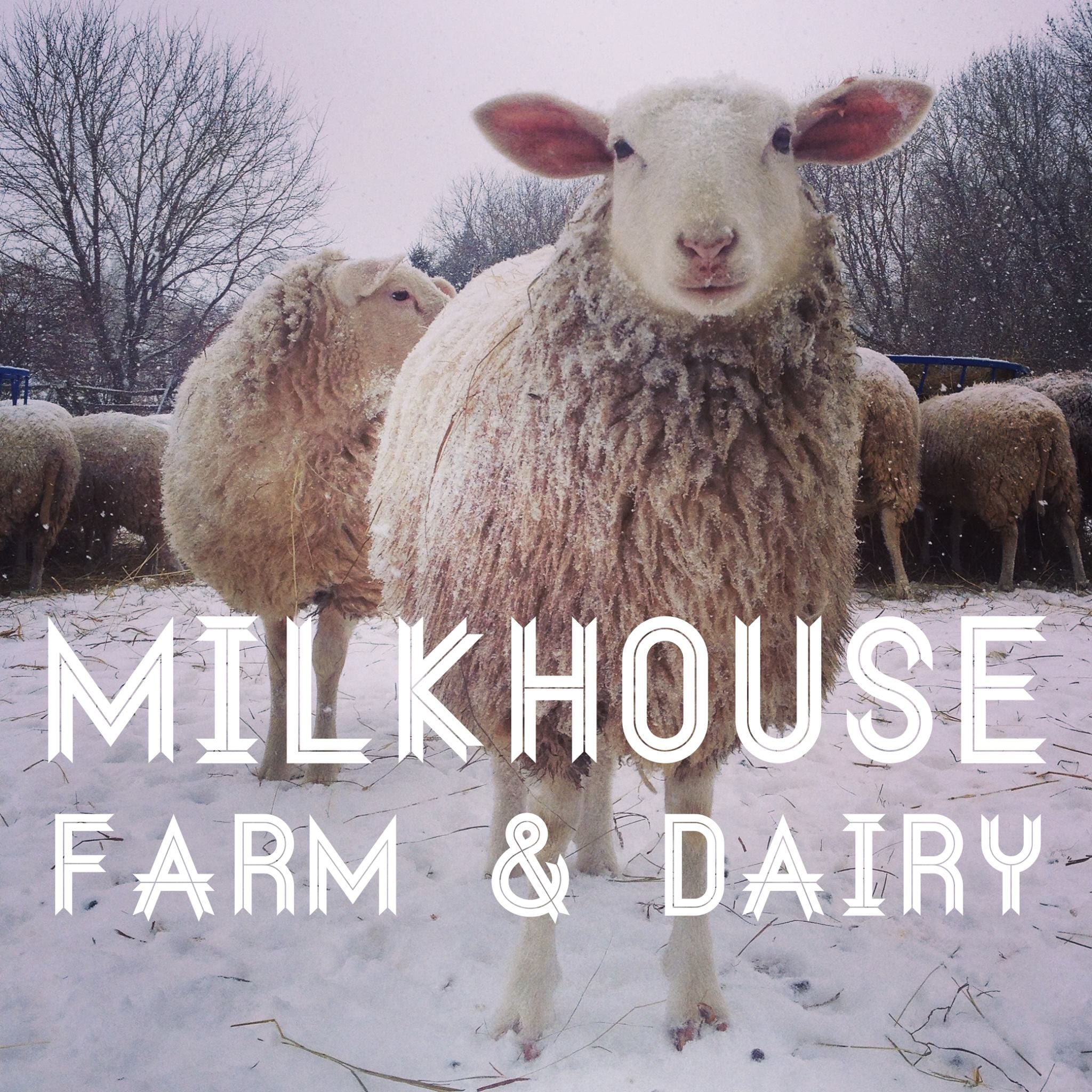 Cheese Factories sheep Milkhouse Farm & Dairy Smiths Falls Ontario Canada Ulocal Local Product Local Purchase