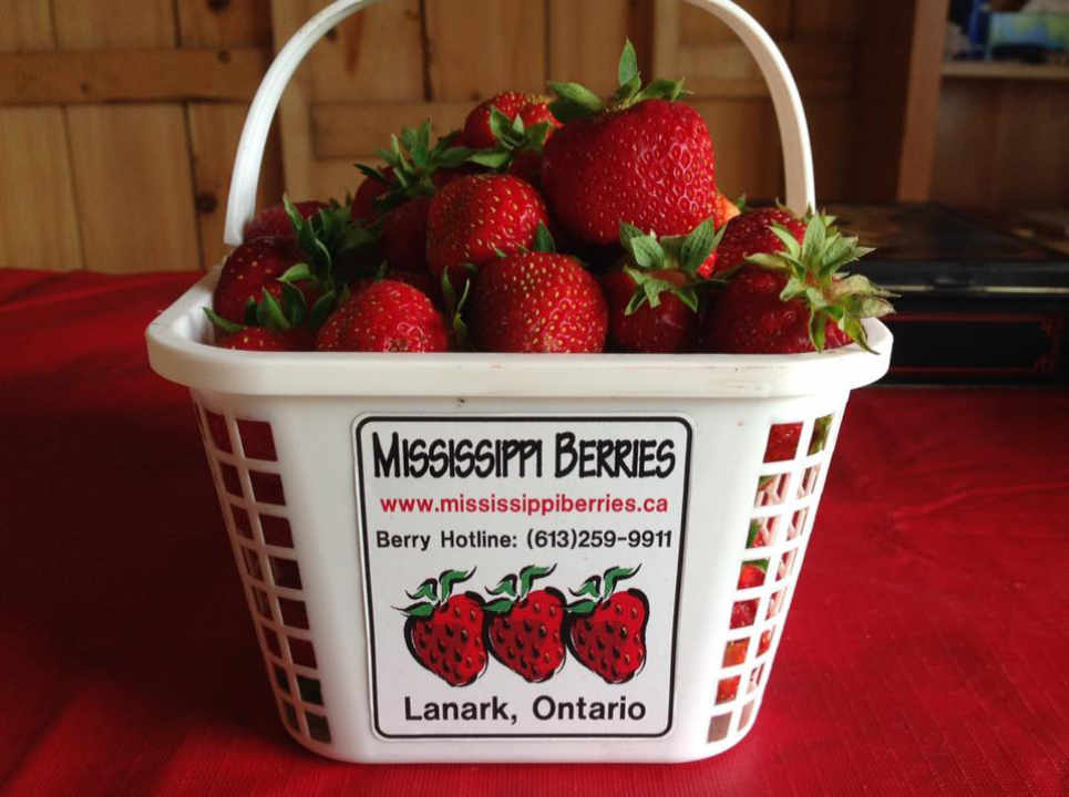 Produce picking strawberries Mississippi Berries Lanark Ontario Canada Ulocal Local Product Local Purchase