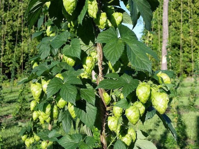Food hop Ottawa Valley Hops Ottawa Ontario Canada Ulocal Local Product Local Purchase