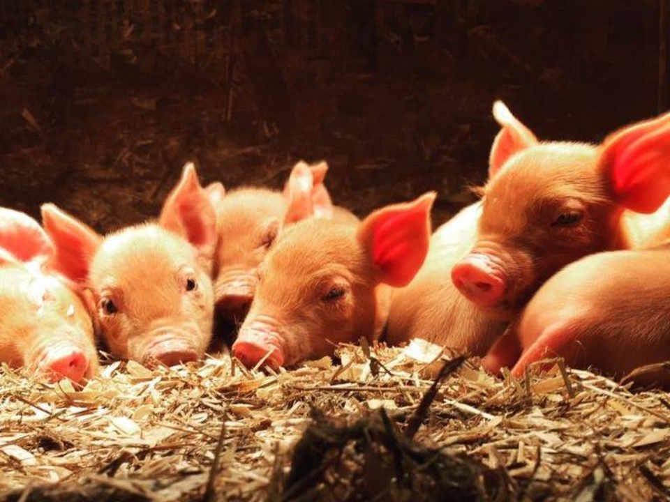 Vente de viande cochons Peabody Farm Venosta Québec Canada Ulocal produit local achat local