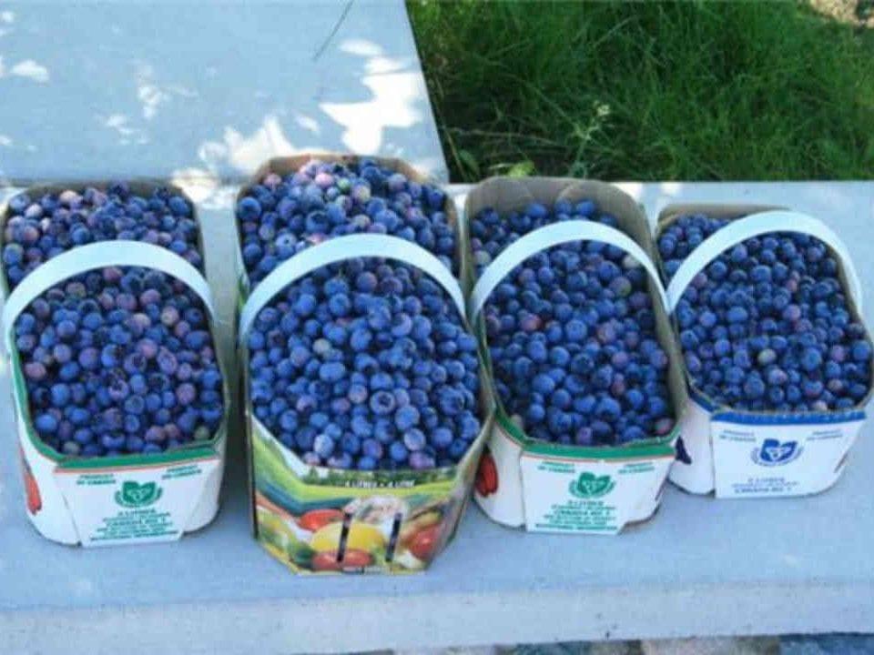 Auto-cueillette paniers de bleuets Vergers Villeneuve and Blueberry Farm Saint-Pascal Baylon Ontario Canada Ulocal produit local achat local
