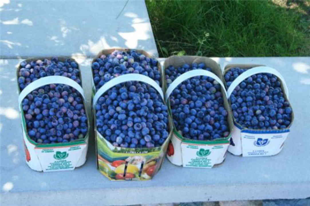 Produce picking baskets of blueberries Vergers Villeneuve and Blueberry Farm Saint-Pascal Baylon Ontario Canada Ulocal local product local purchase