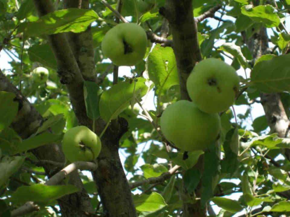Auto-cueillette pommes Vergers Villeneuve and Blueberry Farm Saint-Pascal Baylon Ontario Canada Ulocal produit local achat local