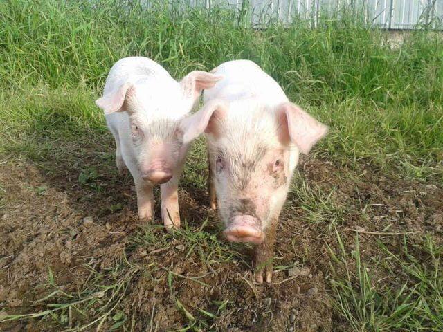 Vente de viandes biologiques Becaguimec Farm Brighton Nouveau-Brunswick Canada Ulocal produit local achat local produit terroir